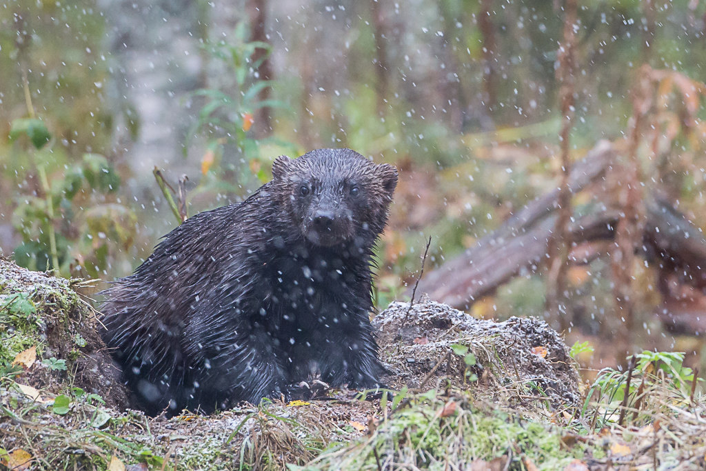Glouton, ou carcajou pour les canadiens, wolverine en anglais