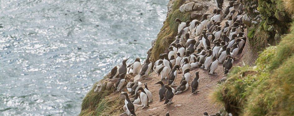 Écosse : oiseaux de la côte Est (2) Falaises de Folwsheugh
