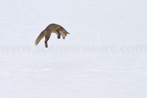 Renard mulotage dans la neige